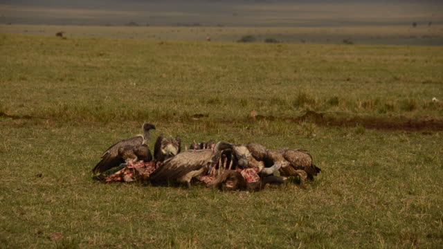 vultures feeding on a carcass left by lions in the plains of africa inside masai mara national reserve during a wildlife safari - 死んでいる動物点の映像素材/bロール