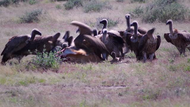 Vultures feeding on a springbok
