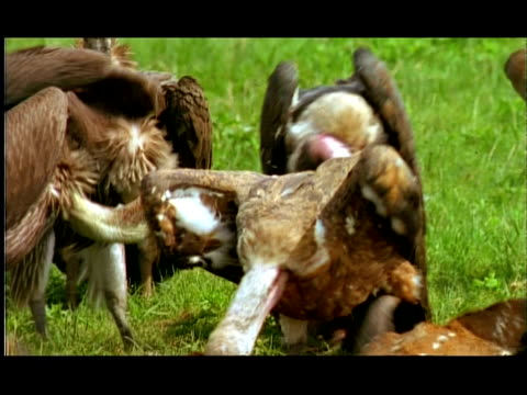 vultures feeding on chital (axis axis) doe carcass, close up, nagarahole, southern india - vulture stock videos & royalty-free footage