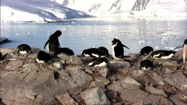 vidéos et rushes de a waddle of penguins nest on a coastal rock formation. - oiseau qui ne vole pas