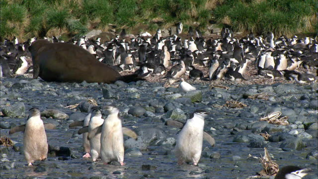 waddling chinstrap penguins and an elephant seal crawling in the background - waddling stock videos & royalty-free footage