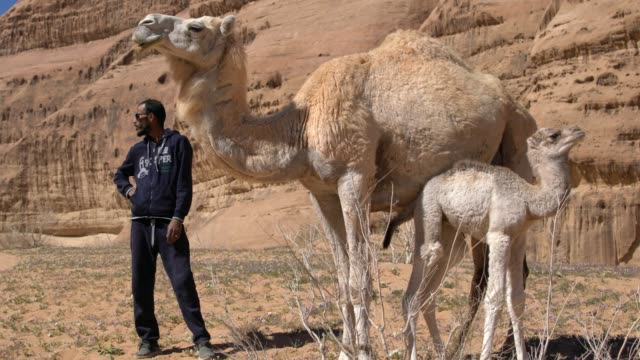 wadi rum desert, jordan; march 22, 2019; zalabia bedouin taking care of mother camel and baby camel. wadi rum is a valley cut into the sandstone and... - tier familie stock-videos und b-roll-filmmaterial