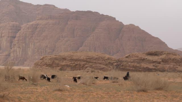 wadi rum desert, jordan; march 23, 2019; bedouin shepard and his goats herd in spectacular wadi rum, southern jordan. wadi rum is a valley cut into... - 羊飼い点の映像素材/bロール