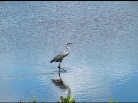 wading bird walking - water bird stock videos & royalty-free footage