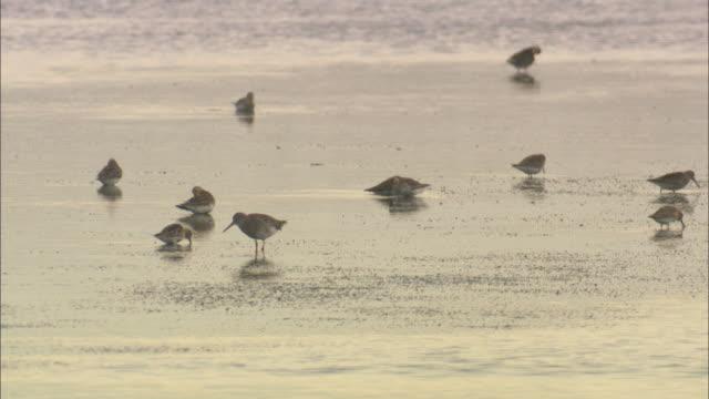 Wading birds feed on mudflats, Norfolk, UK