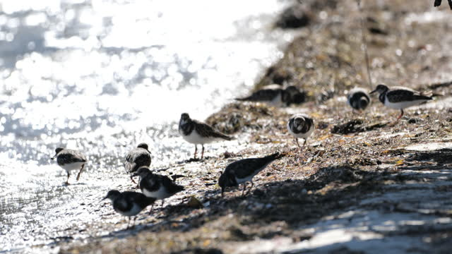 wading sandpiper's: key west, florida - sandpiper stock videos & royalty-free footage