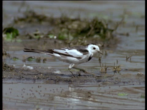 mcu wagtail foraging in mud, india - foraging stock videos & royalty-free footage