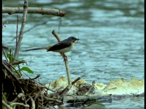vídeos de stock e filmes b-roll de wagtail, ms on branch over polluted water holding mayfly, england - água doce