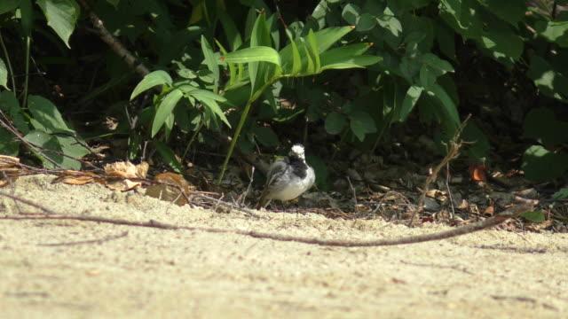 wagtail preening its feathers - preening animal behavior stock videos & royalty-free footage