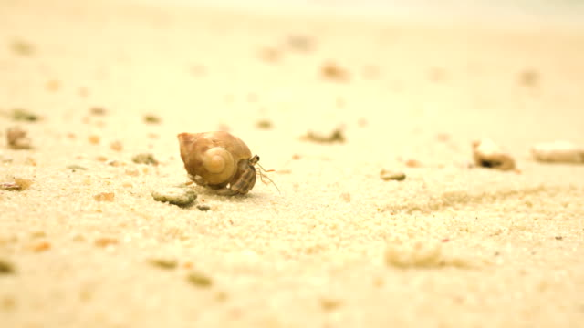 waiting a minute, hermit crabs start walking - conch stock videos & royalty-free footage