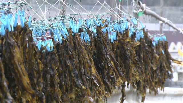Wakame seaweed dries on racks.