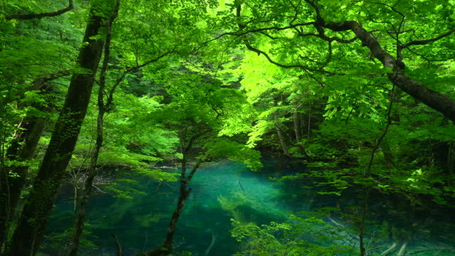 wakitubonoike pond in shirakami sanchi, aomori, japan - lush video stock e b–roll