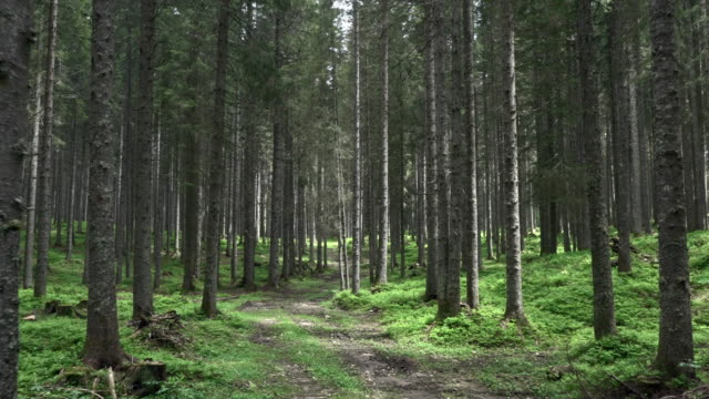 aerial walk along a forest trail among spruce trees - forest stock videos & royalty-free footage
