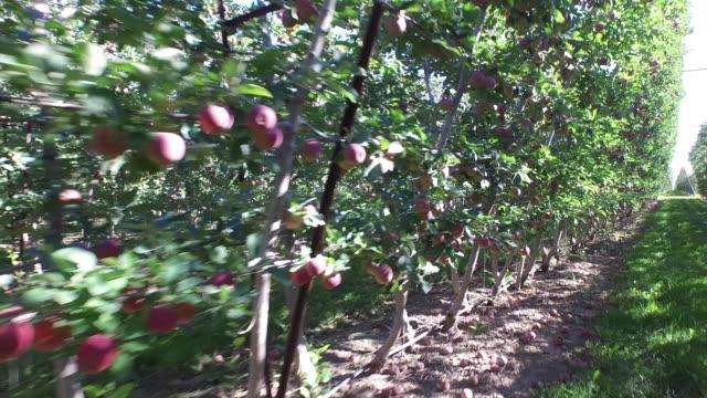 walk alongside  apple tressels - wiese stock videos & royalty-free footage