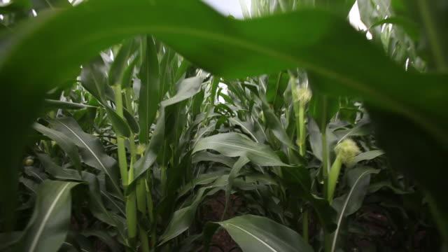 POV walk through cornfield