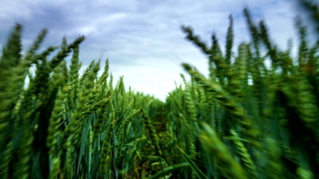 vídeos y material grabado en eventos de stock de punto de vista a través de trigo campo (mano toma) - cámara en mano
