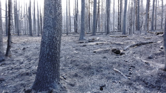 Walking after the fire of Yellow Stone Park.