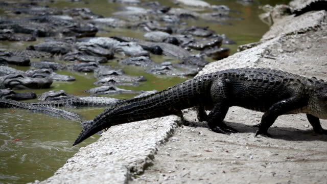 walking alligators - reptile stock videos & royalty-free footage