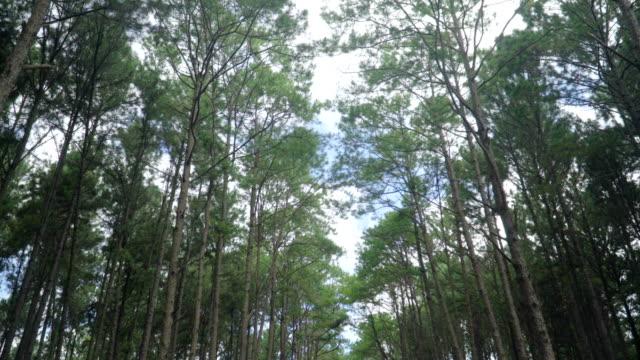vidéos et rushes de marche entre forêt de pins sous le ciel bleu - valley