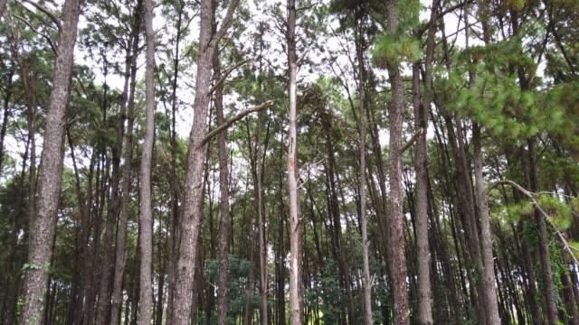 vídeos de stock, filmes e b-roll de passeio entre pinheiros - tronco de árvore