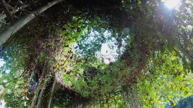 walking and looking up into green vine gate with sunlight flare