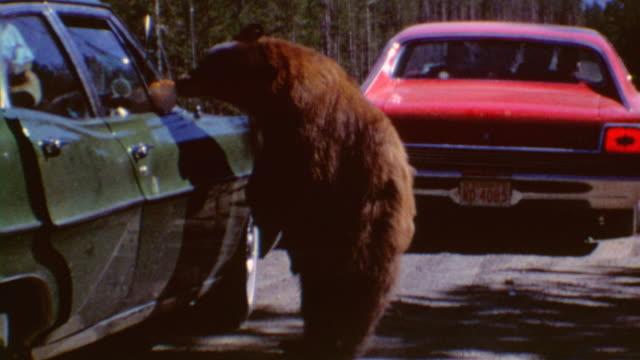 walking bear / driving into yosemite / bears taking food from cars / bears running across the highway / yosemite bears at united states national park... - yosemite nationalpark bildbanksvideor och videomaterial från bakom kulisserna