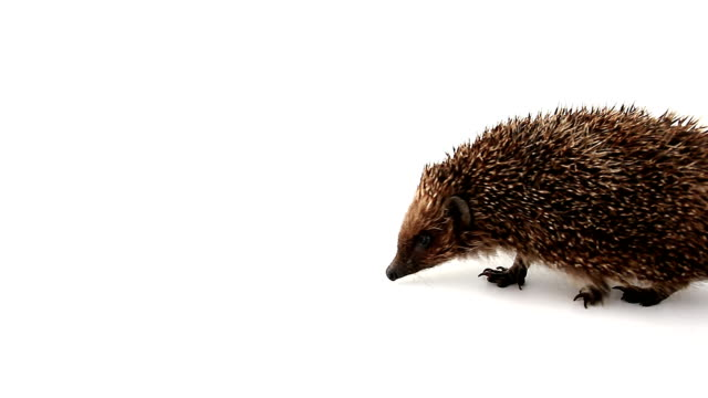 walking business-like hedgehog - curiosity stock videos & royalty-free footage
