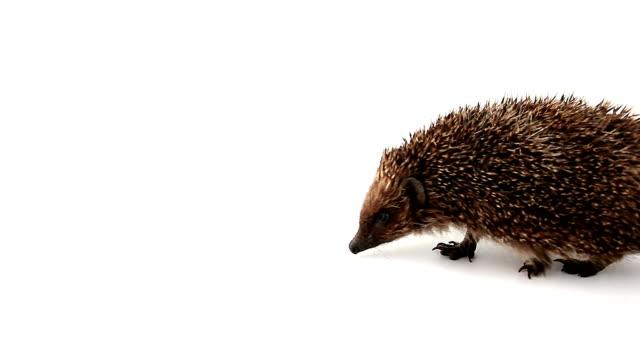 walking business-like hedgehog - hedgehog stock videos & royalty-free footage