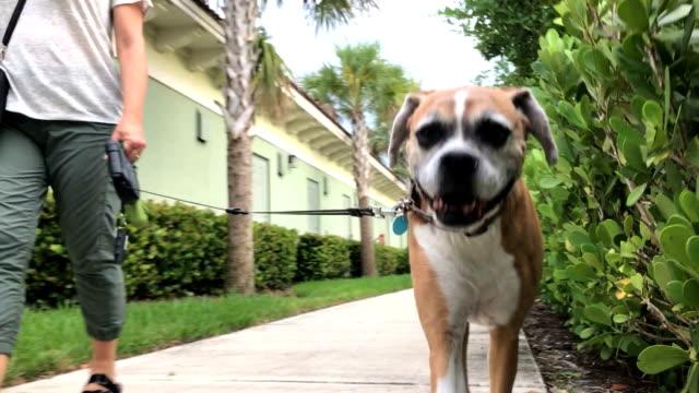 vídeos de stock e filmes b-roll de walking dog - trela de animal de estimação