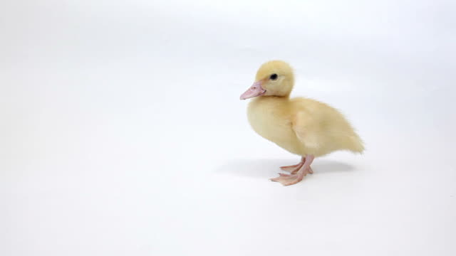 Walking Duckling on White Background