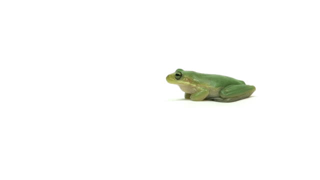 walking green tree frog - frog stock videos and b-roll footage