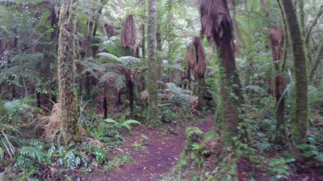 Walking in a New Zealand Forest