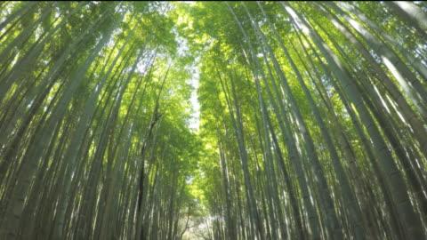 stockvideo's en b-roll-footage met wandelen in shee bamboo forest - bamboo plant