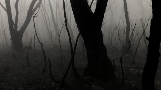 walking in atmospheric burnt forest after bush fire, bare trees and thick fog - bare tree stock videos & royalty-free footage