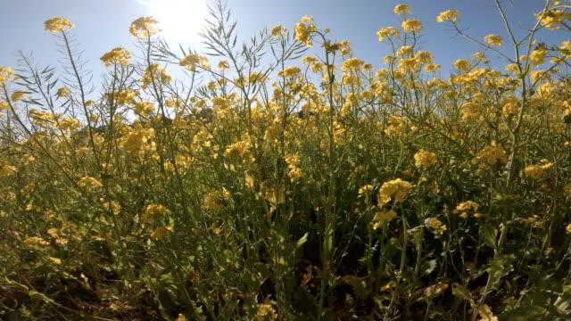 vidéos et rushes de marcher dans le domaine du canola de plante de colza - groupe d'objets