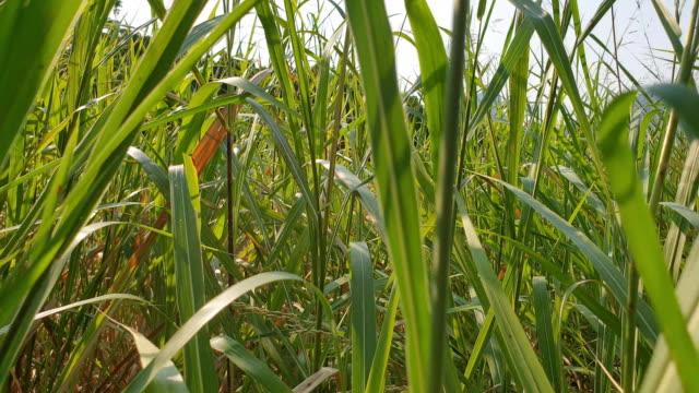 Walking in high grasses.