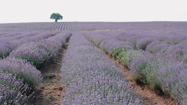 pov. walking in lavender fields in summer, small business and investment, agricultural occupation. - agricultural occupation stock videos & royalty-free footage