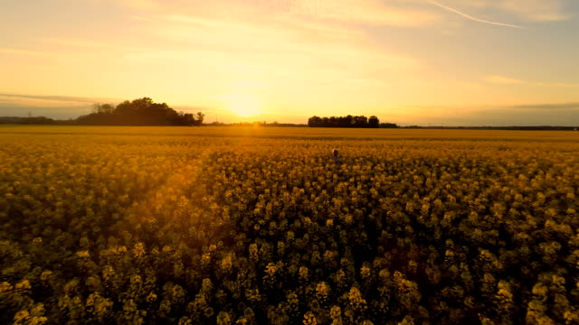 hd heli: walking in the canola field at sunset - canola stock videos and b-roll footage