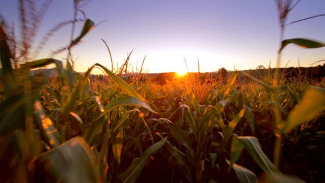 トウモロコシ畑を歩いてください。 - 野菜 とうもろこし点の映像素材/bロール