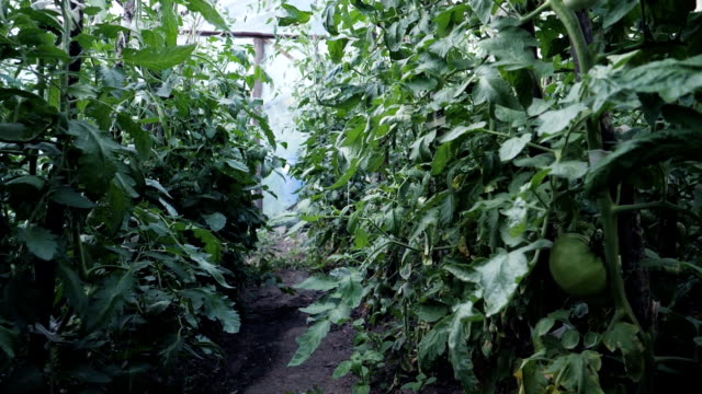 緑のトマトの中の温室で歩きます。 - 園芸学点の映像素材/bロール