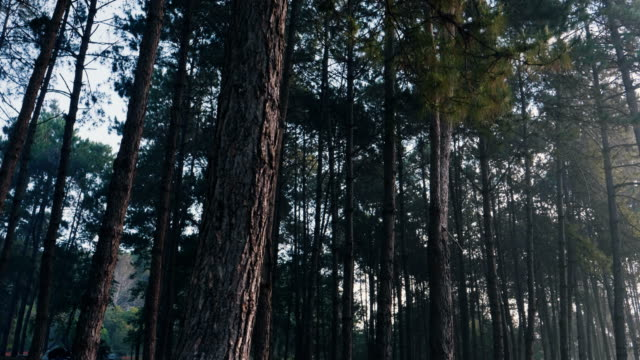 Walking in the pine tree forest
