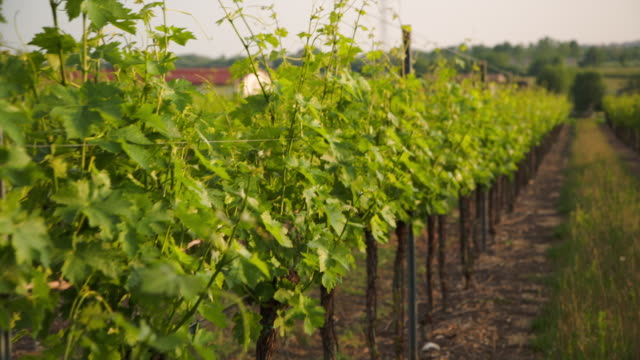stockvideo's en b-roll-footage met walking in the vineyard, handheld shaky footage. - shaky