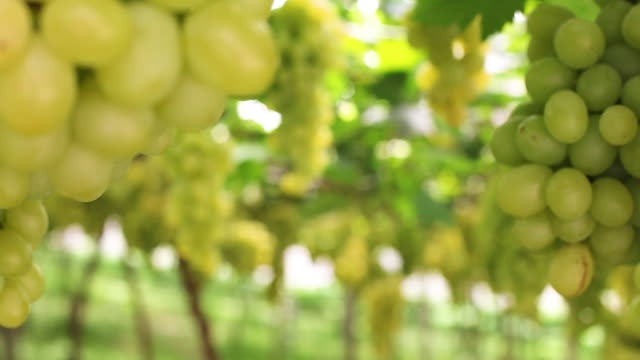 walking in the vineyard looking the green grapes - grape leaf stock videos and b-roll footage