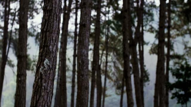 wandern in den wäldern, erschossen steadicam - kiefernwäldchen stock-videos und b-roll-filmmaterial
