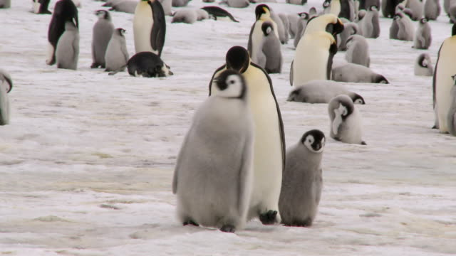 walking penguin family - colony group of animals stock videos & royalty-free footage
