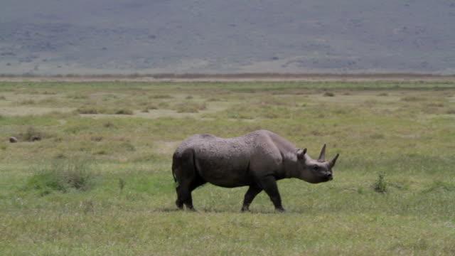 walking rhinoceros pan