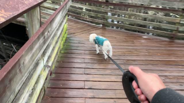 walking hunden - knähund bildbanksvideor och videomaterial från bakom kulisserna