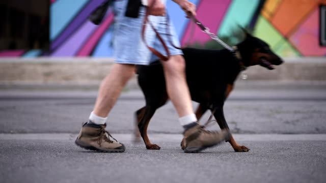 walking the dog - dog walker stock videos and b-roll footage