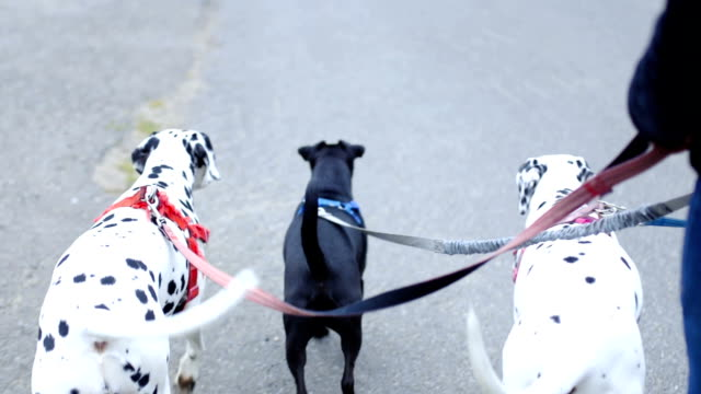 walking the three dogs on their leash - group of animals stock videos & royalty-free footage