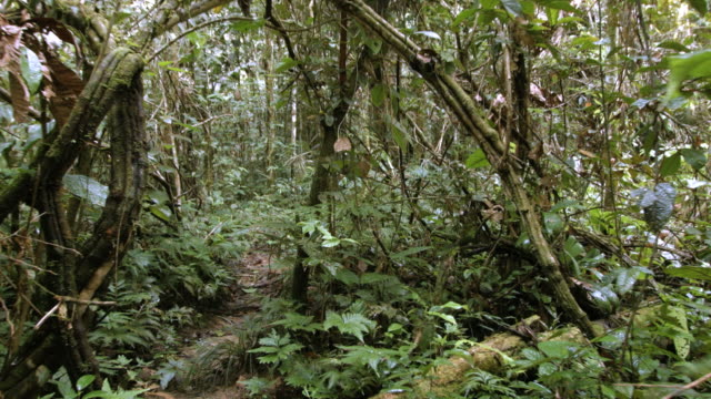 Walking through a natural arch formed by a tangle of lianas in the Ecuadorian Amazon